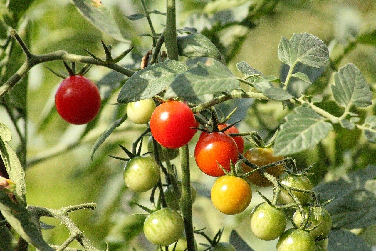 Jardinier débutant, tout savoir sur les tomates